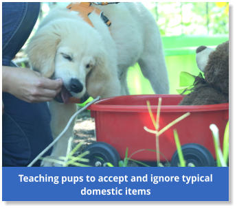 Teaching pups to accept and ignore typical domestic items