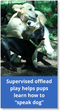 "Supervised offlead play helps pups learn how to ""speak dog"""